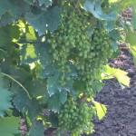 Agroplantin vinograd - Muskat Italija