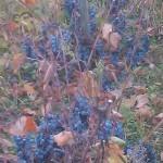 Agroplantin vinograd - Prokupac (stari zasad)