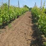 Agroplantini vinogradi - Kardinal 2