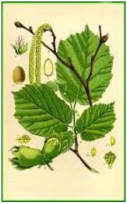 lesnik-uzgoj