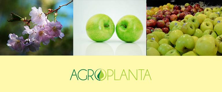 vocne-sadnice-jabuka