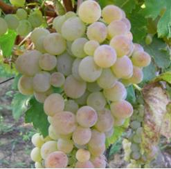lozni-kalemovi-stone-sorte-kraljica-vinograda